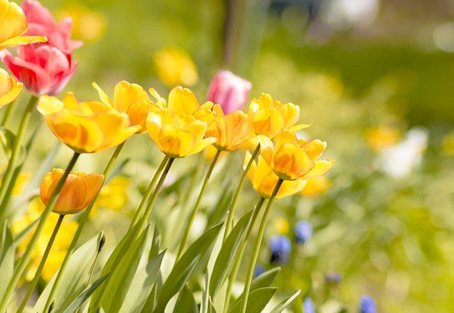 tulipany - Piława
